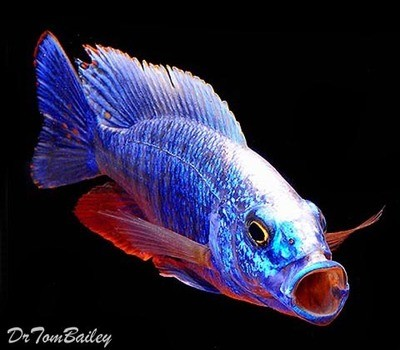 Premium Lake Malawi Electric Blue Hap, Cichlid