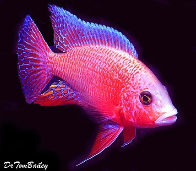 Premium Lake Malawi Firefish Peacock Cichlid