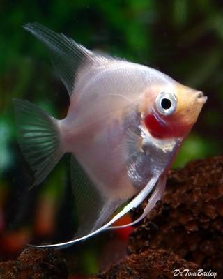 Premium Blushing Angelfish