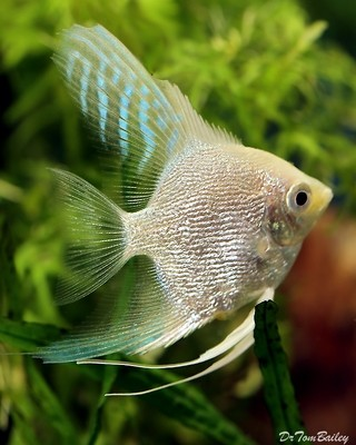 Premium Platinum Pearlscale Angelfish