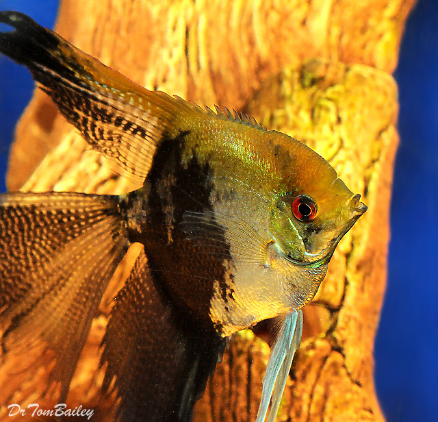 Premium Leopard Veiltail Angelfish