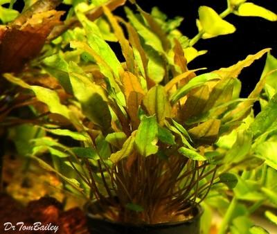 Premium Cryptocoryne Mioya, Potted Plant