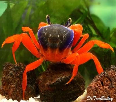 Premium WILD, Freshwater Patriot Crab
