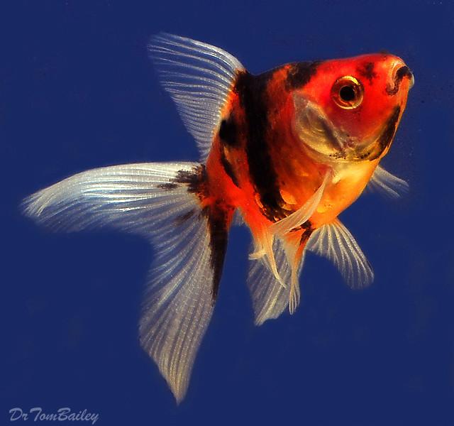 Premium Calico Fantail Goldfish