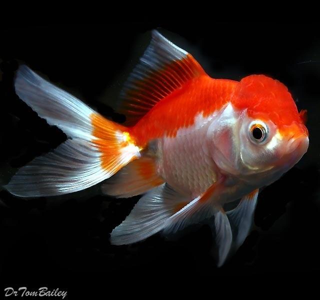 Premium Red & White Oranda Goldfish