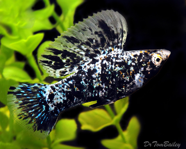 Premium MALE Marbled Sailfin Molly