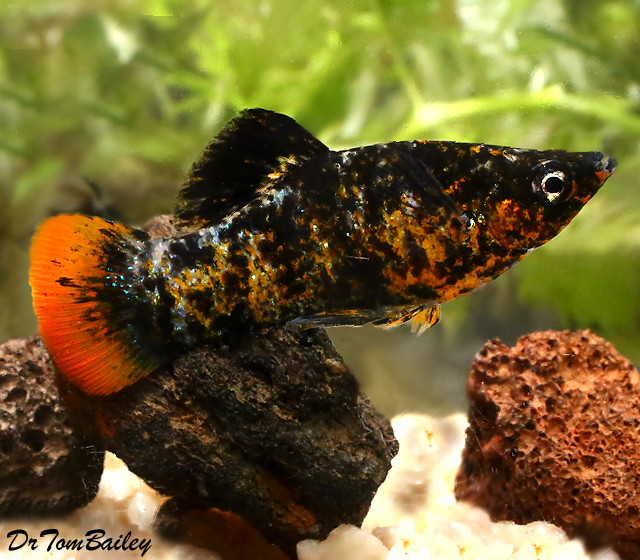 Premium New and Rare, Orange Tail Molly