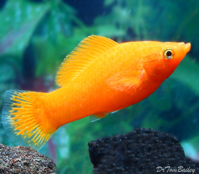 Premium FEMALE Rare Tangerine Sailfin Molly
