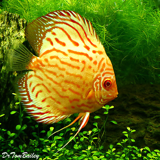 Premium Gold & Red Discus