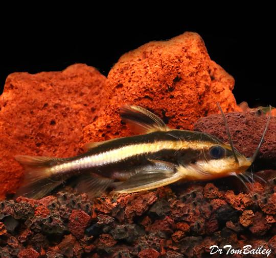 Premium Striped Raphael Talking Catfish, Tank Raised