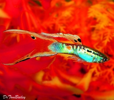 Premium MALE Twin Swordtail Fancy Guppy