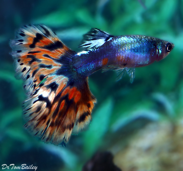 Premium MALE, Rare and New, Blue Diamond Variegated Fancy Guppy