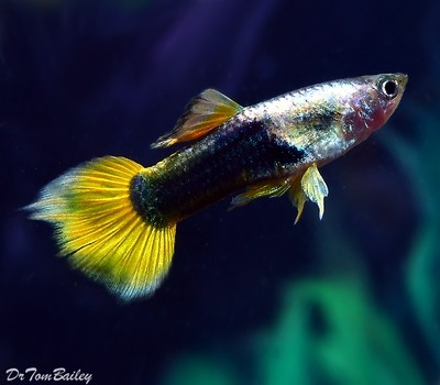 Premium MALE Bumblebee Fancy Guppy