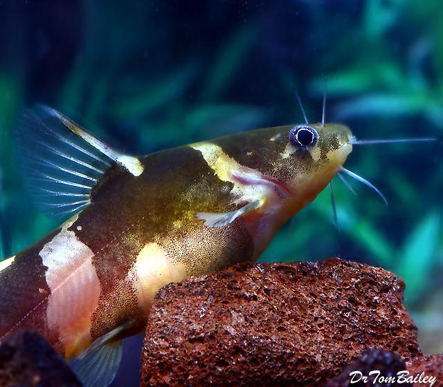 Premium Asian Bumblebee Catfish
