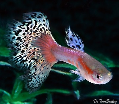 Premium MALE Pink Variegated Fancy Guppy