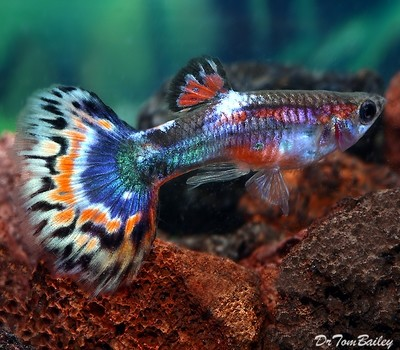 Premium MALE Blue Variegated Fancy Guppy