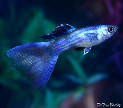 Premium MALE Moscow Blue Fancy Guppy