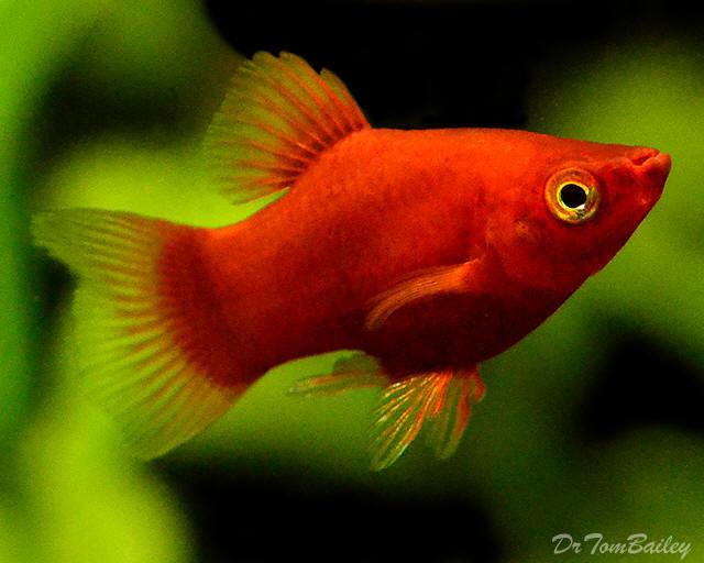 Premium Dwarf Coral Red Platy