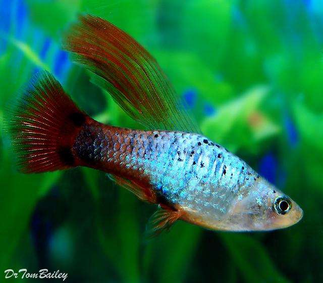 Premium New and Rare, Coral Blue Hifin Platy