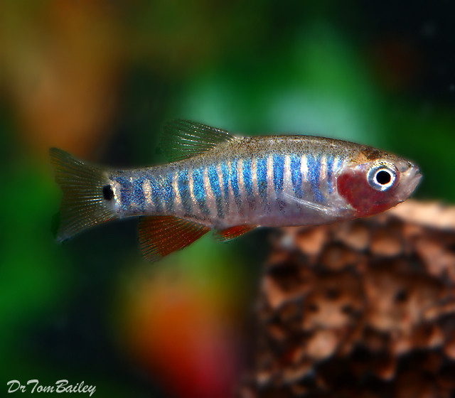Premium New and Rare, Zebra Rasbora, also called the Emerald Dwarf Rasbora, Nano Fish