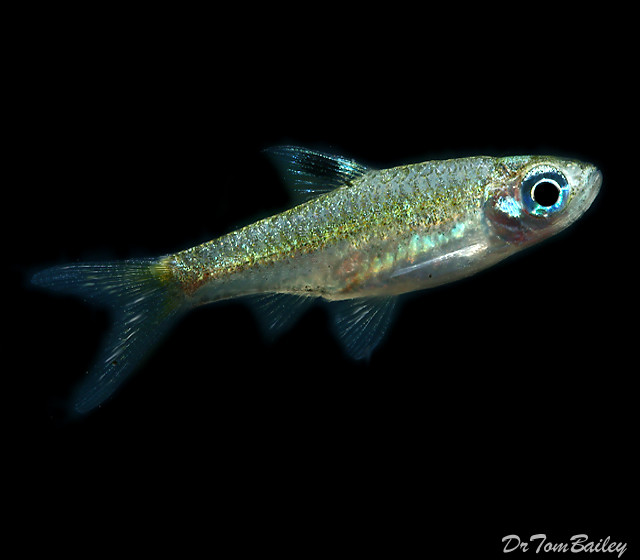 Premium New and Rare, Emerald Eye Rasbora, Nano Fish