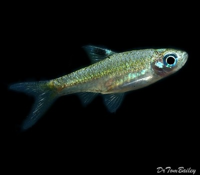 Premium New and Rare, Emerald Eye Rasbora, Nano Fish