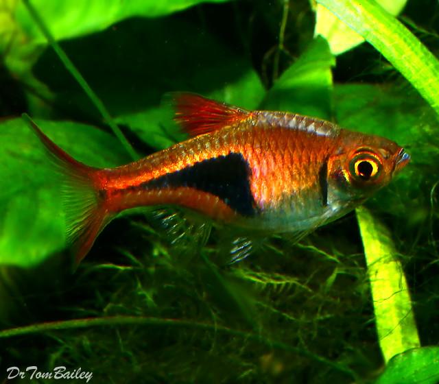 Premium Harlequin Rasbora, Nano Fish