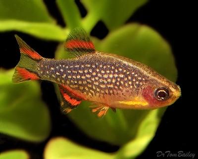 Premium Celestial Pearl Danio, Celestichthys margaritatus, Nano Fish