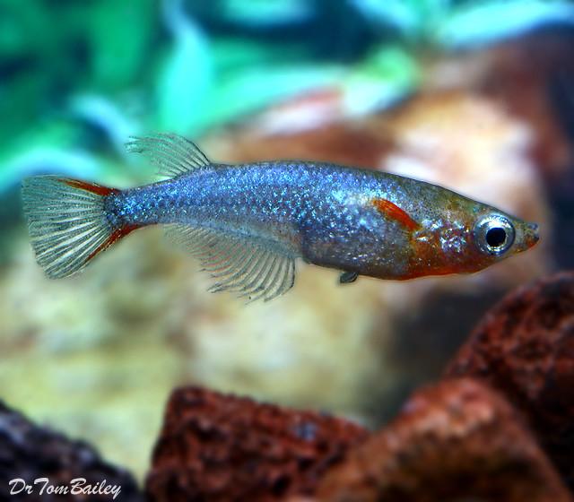 Premium Daisy's Ricefish, Nano Fish