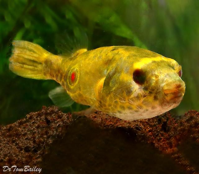 Premium Freshwater Fangs Pufferfish