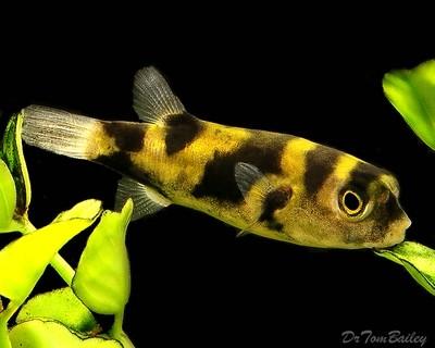 Premium WILD, Rare Freshwater Amazon Pufferfish