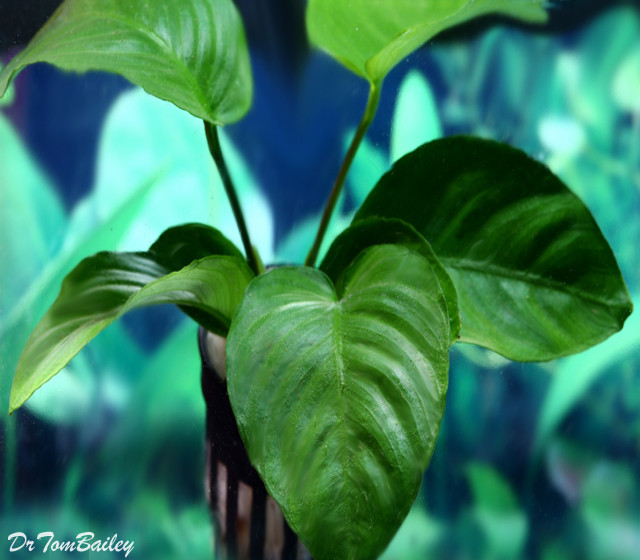 Premium Anubias Barteri, Potted Plant