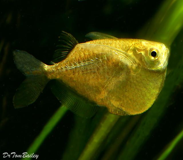 Premium Platinum Hatchetfish