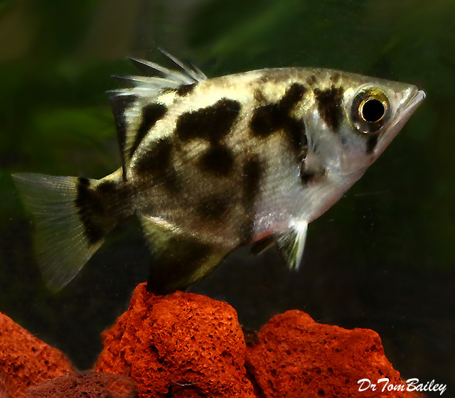 Premium WILD, New and Very Rare Freshwater Clouded Archer Fish