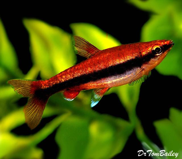 Premium Beckford's Pencilfish