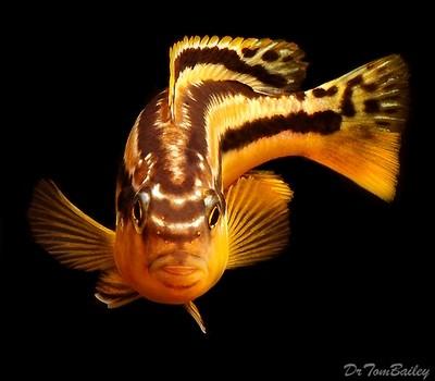 Premium Malawi Melanochromis Auratus Mbuna Cichlid