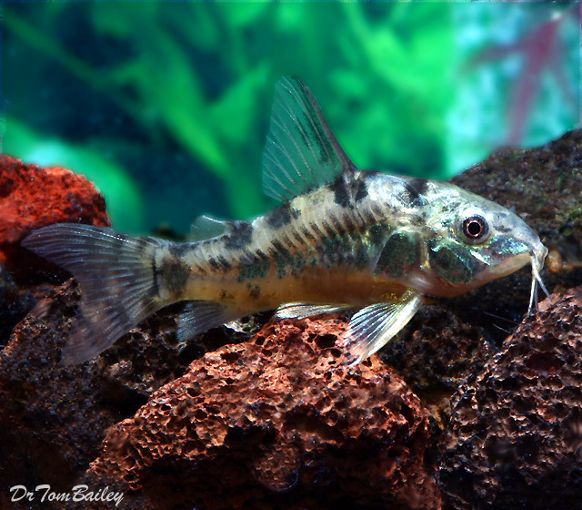 Premium Peppered Paleatus Corydoras Catfish