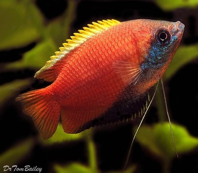 Premium Honey Gourami