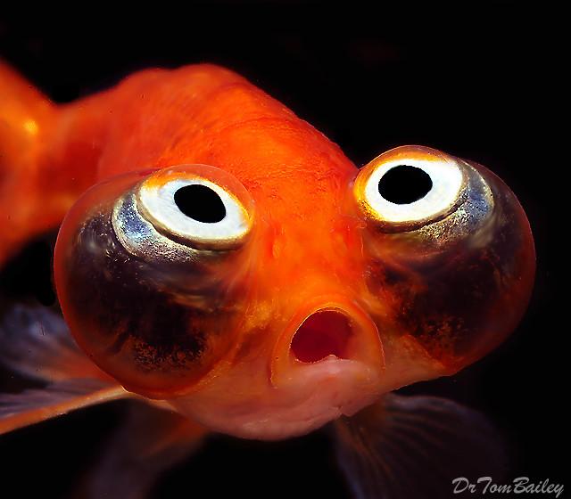 Premium Rare Gold Celestial-Eye Goldfish