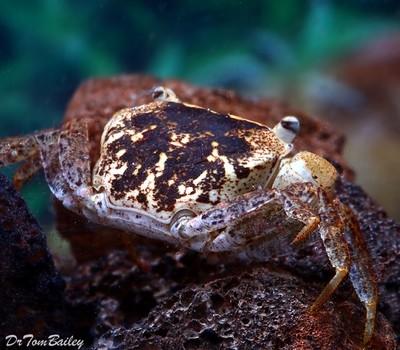 Premium Rare Batik Freshwater Crab