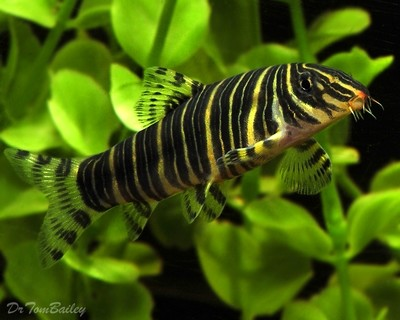 Premium Zebra Loach