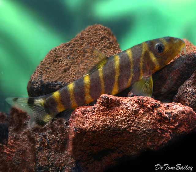 Premium Rare and New, Queen Loach