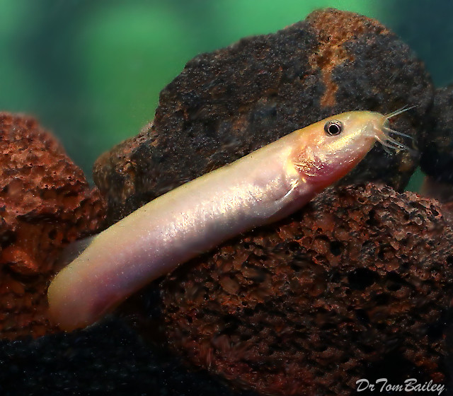 Premium Gold Weather Loach