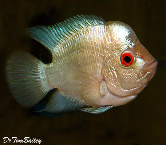 Premium Rare and New, Blue Diamond Flowerhorn Cichlid