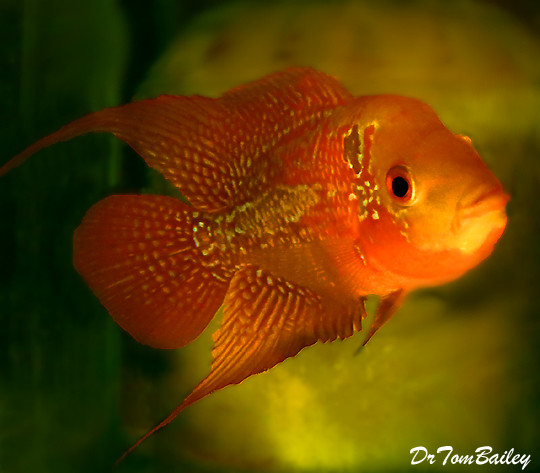 Premium Rare and New, Red Chili Flowerhorn Cichlid
