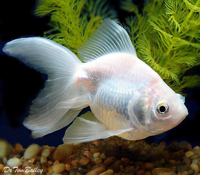 Premium Pearl White Ryukin Goldfish
