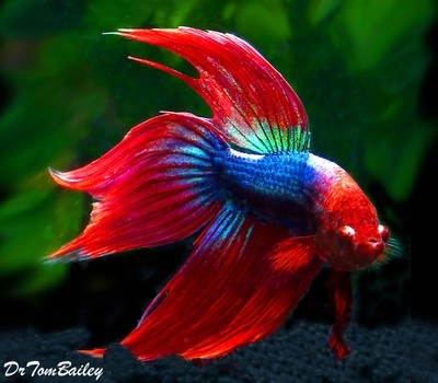 Premium MALE Red & Blue Betta Fish
