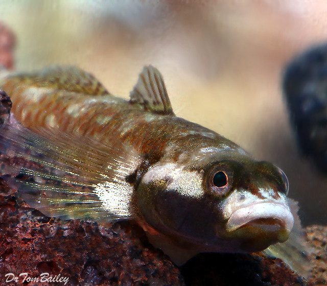 Premium Rare White Cheek Goby