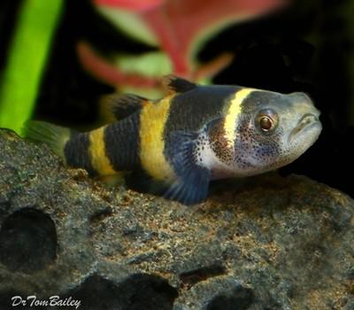 Premium WILD, Bumblebee Goby, Nano Fish