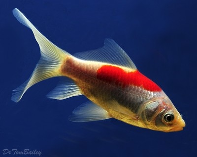 Premium Red & White Pond Comet